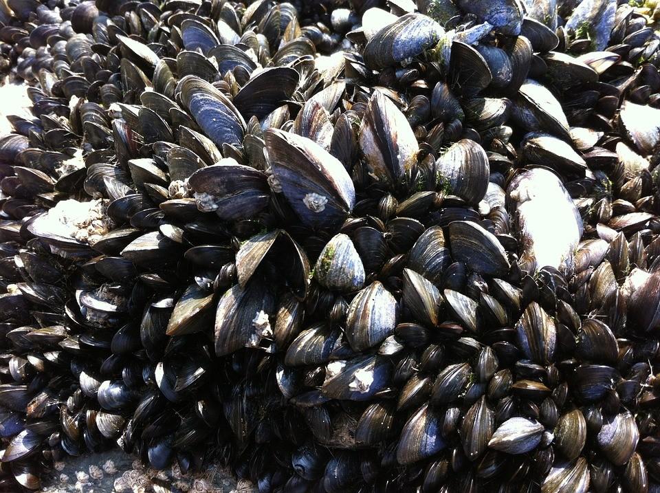 aranto. Sequestrato quantitativo di cozze pescate in zona vietata