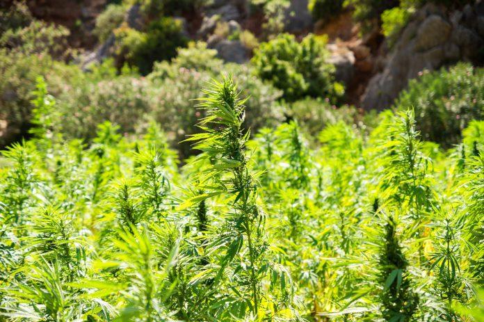 Castellaneta. 14.000 piante di marijuana scoperte dalla guardia giudiziaria