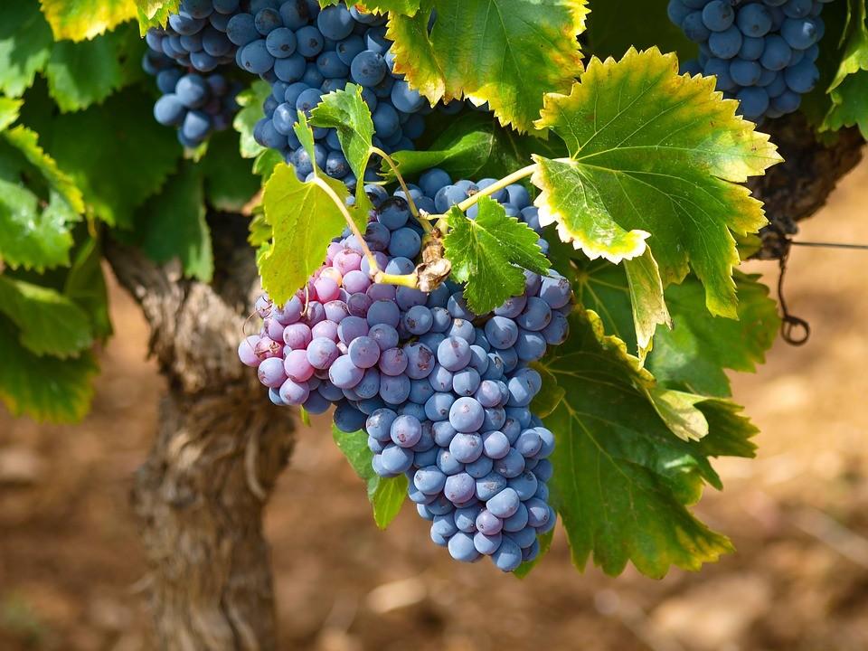 Ginosa. Successo della prima edizione della Festa del Vino delle Colline Ioniche