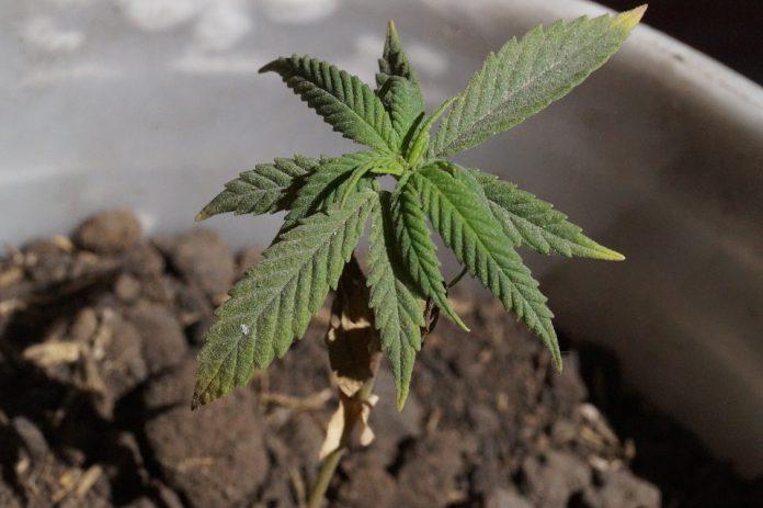 Denunciato a Taranto 44enne per detenzione piante di marijuana