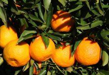 Clementine del Golfo di Taranto