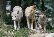 Innalzare livello di allerta per danni causati dalla fauna selvatica province di Taranto e Bari