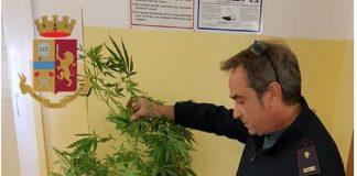 Sequestrata pianta di marijuana nella città Vecchia di Taranto