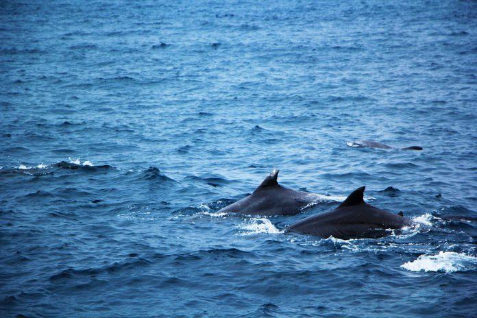 Salviamo i cetacei del Golfo di Taranto istituendo un'area marina protetta
