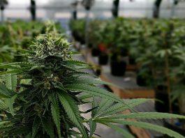 Serra di cannabis coltivata nel bagno da 27enne di Avetran