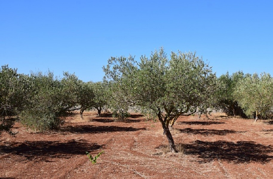 Criminalità nelle campagne pugliesi. Rubate piante immuni