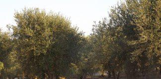 Gravi danni a vigneti e oliveti di Crispiano