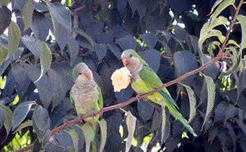 Invasione di pappagalli. Denuncia di Coldiretti Puglia