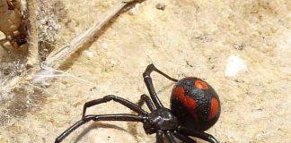 50enne di Barletta morso da ragno del genere vedova nera