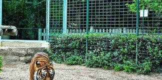 Dilaniato domatore di tigri di un circo Orfei a Triggiano