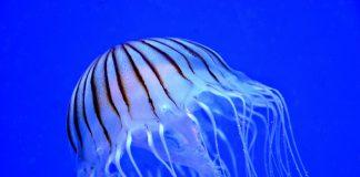 Meduse nelle acque joniche. Meglio tenersi distanti