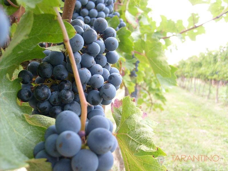 Denunciato per furto d'uva 55enne di Taranto