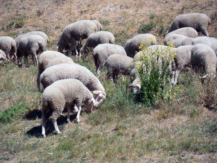 Strage di pecore a Martina Franca. Sbranati 40 esemplari