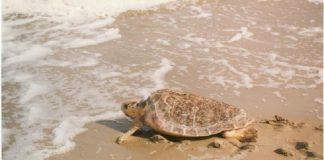 Tartaruga Caretta Caretta morta sull'arenile di Massafra