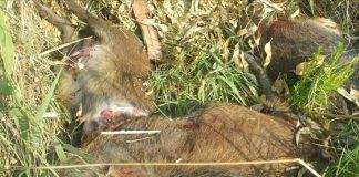 Uccisi cinghiali nella notte a Castellaneta Marina