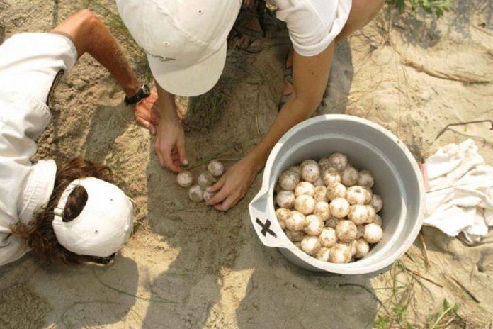 Uova di Caretta Caretta a San Pietro pronti per la schiusa