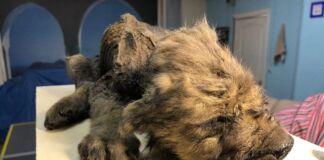 Esemplare di lupo-cane rinvenuto in Siberia