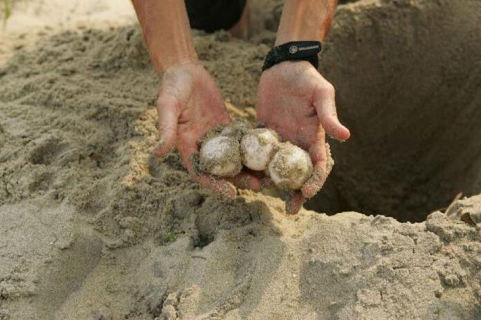 Nido di tartaruga danneggiato dal clima a Torricella
