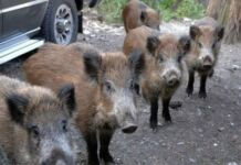 Provincia di Taranto: Emergenza Cinghiali