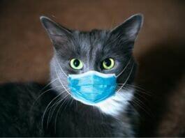 gatto con coronavirus