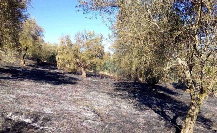 Manduria: bruciati 10 ettari di ulivi