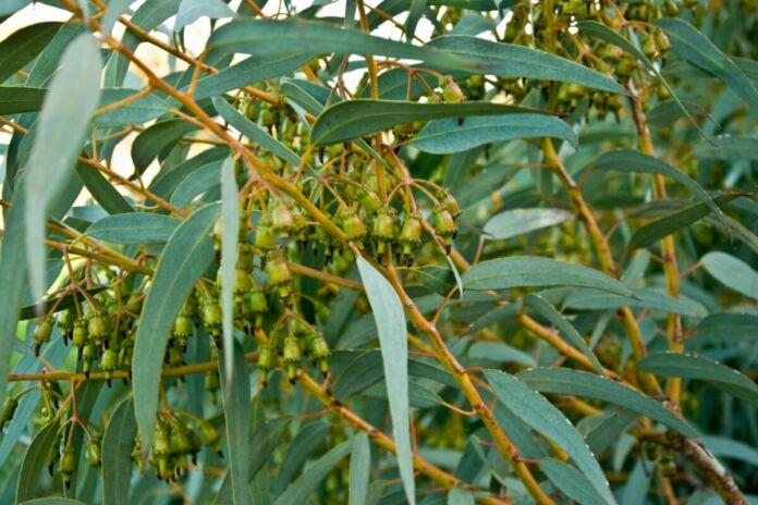 eucalipti