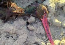 Cicogne nere uccise dai bracconieri