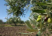 Giornata degli ulivi Puglia