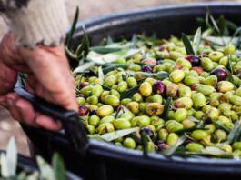 ladro seriale di olive