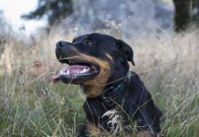 Ginosa: 73enne azzannata da rottweiler