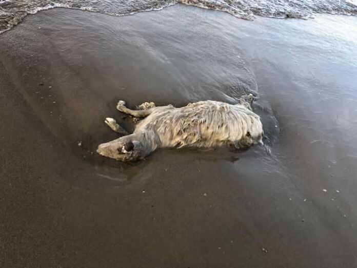 animali morti in spiaggia ginosa
