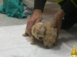 Castellaneta - Vigili del Fuoco salvano cuccioli di cane da un canale