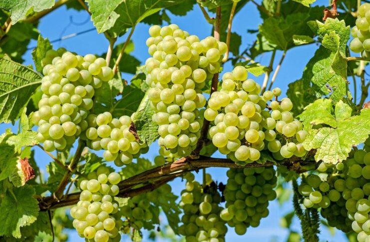 semi di uva