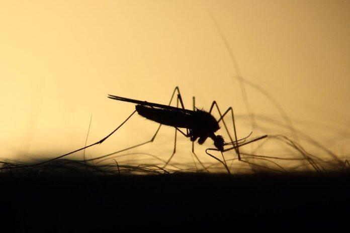 zanzara giapponese