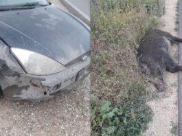 Castellaneta, cinghiale investito da auto